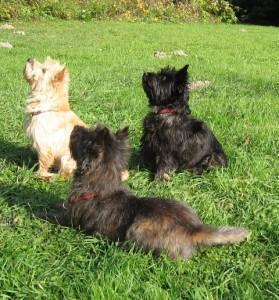 To so Cairnski terier - to so po velikosti manjši psi, ki so se prvotno uporabljali za lov na škodljivce.