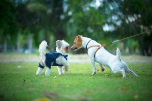 kako-psu-predstavimo-drugega-psa