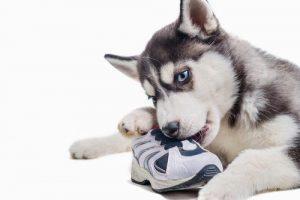 od-kod-izvira-obsedenost-psov-z-obutvijo