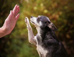 ali-starejsega-psa-lahko-naucimo-novih-trikov