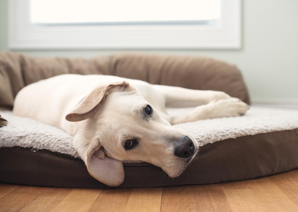 Pasje ležišče bi morali čistiti vsaj enkrat na teden, saj umazana postelja povzroča neprijeten vonj ter higienske in zdravstvene težave.