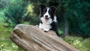 Najbolj učljive pasme psov - border collie