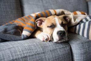 Notranji zajedavci pri psih - bolan kužek