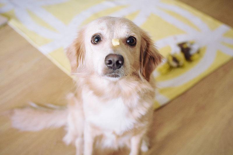 Kako psa naučiti samokontrole z držanjem hrane na nosu