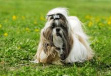 Pasme psov, ki ne puščajo dlake - shi tzu