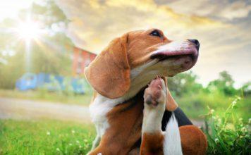 Večina alergij se pri kužkih pojavi po šestih mesecih življenja. Večina prizadetih psov pa je starejših od enega ali dveh let.
