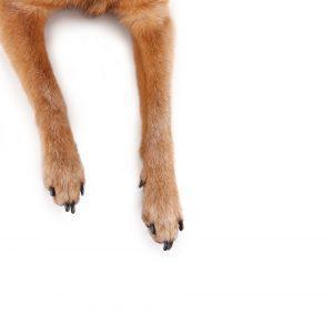 Če je za vas prevroče, da bi hodili zunaj bosi, potem je tudi za vašega kužka prevroče. V poletni vročini, vedno najprej z roko potipajte pločnik, preden pustite svojega psa, da hodi po njem.