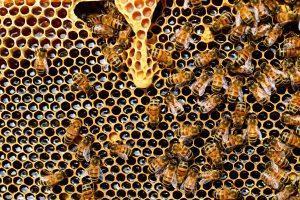 Kot že omenjeno, med ni edini koristen izdelek iz čebeljega panja za naše kužke.