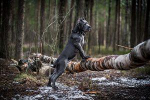 """Nekateri italijanskemu mastifu pravijo tudi """"pasji varnostnik"""" - so eni najboljših čuvajev. Ti psi so veliki, močni in izjemno zaščitniški."""