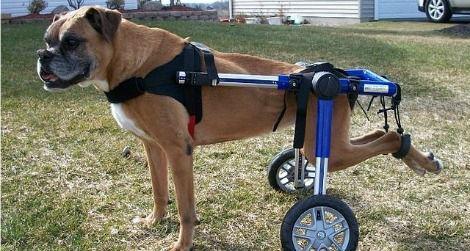 Pes velja za paraliziranega ali ohromelega, kadar se ena ali več okončin ne more več premikati.