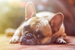 Kadar ima kužek težave z uriniranjem, pogosto sam pokaže simptome nelagodja in težav. Lizanje ob odprtju sečil je znak, da je v tem predelu nekaj narobe, da je tam nekaj bolečega in neprijetnega.