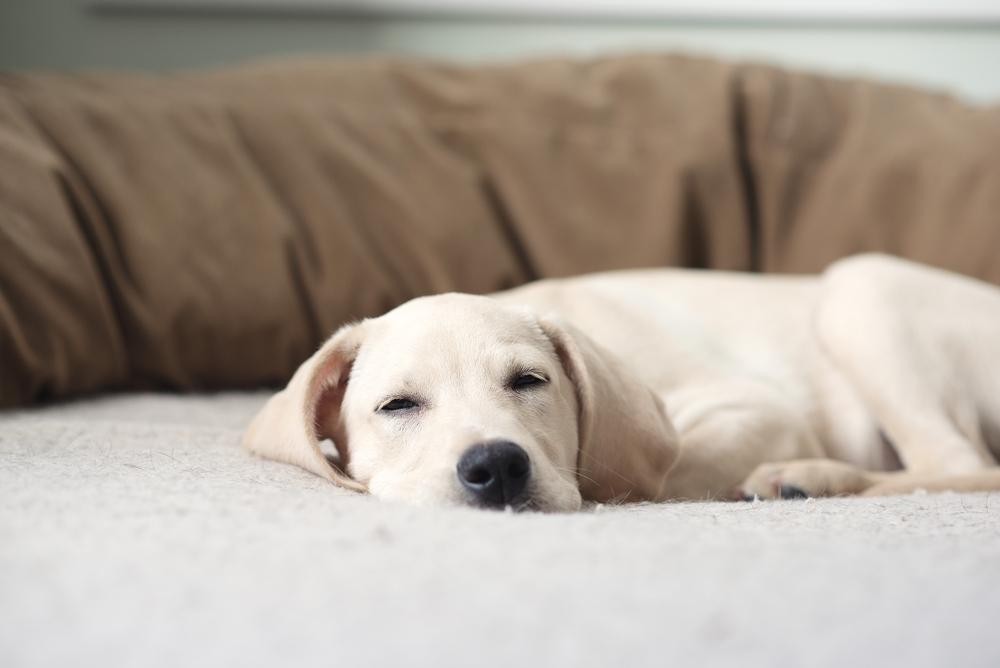Pri starejšemu psu se znaki srčnih težav kažejo tako, da se štirinožec na sprehodu hitreje utrudi, pogosteje kašlja, se hitro zadiha, hitreje in oteženo diha, ima zatečene okončine, ima slabši apetit ter hujša.