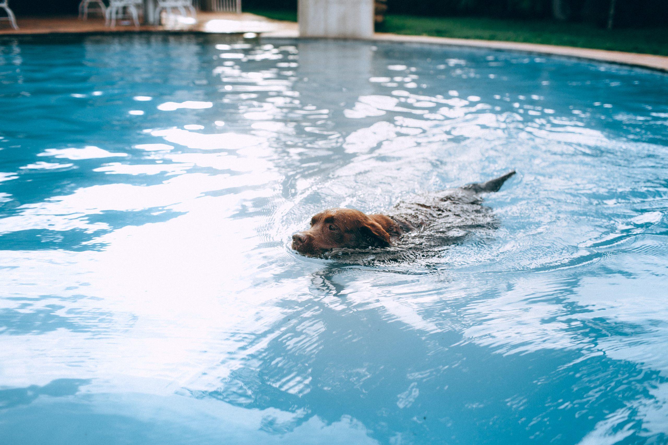Ravni klora v pravilno vzdrževanem bazenu so relativno nizke. Zato na splošno voda v bazenu ni škodljiva za vašega psa.