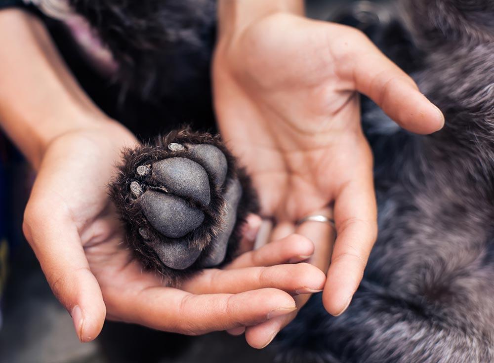 Pregledovanje pasjih blazinic