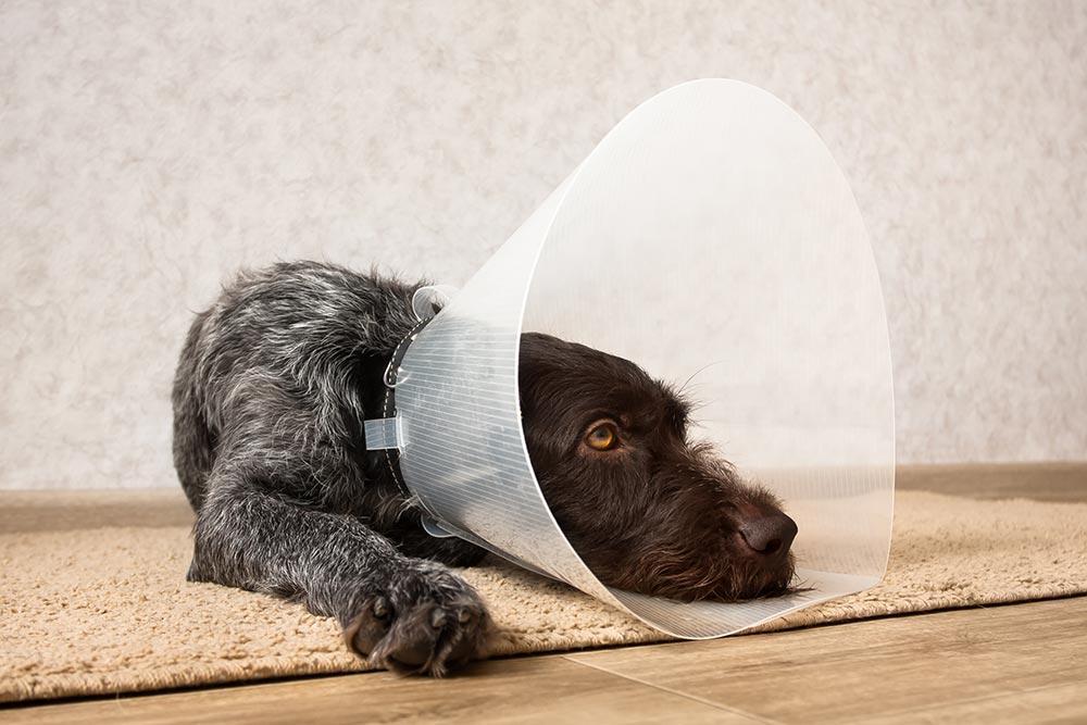 pes z elizabetinskim ovratnikom