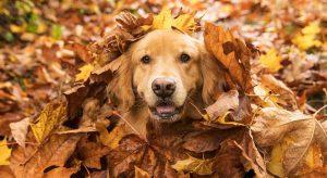 Običajno so labradorci in zlati prinašalci po naravi veseli in inteligentni. Z lahkoto se preusmerijo iz igrivih v umirjene pse. Znani so po svojem sočutju in zmožnosti tolažbe.