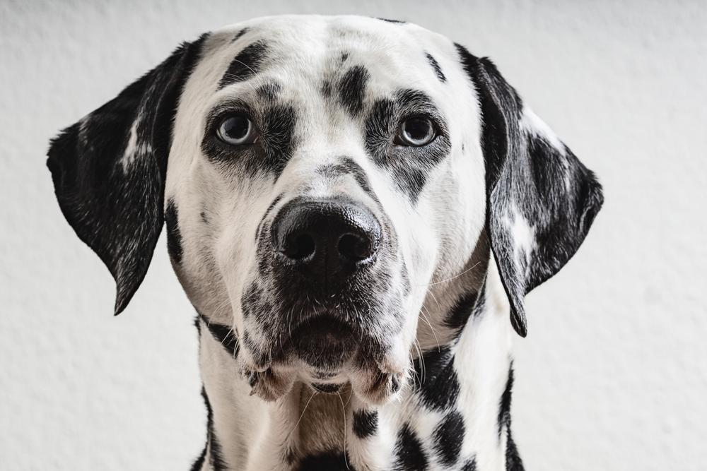 Vsi vemo, da imajo različne pasme različen nivo energije. Nekateri psi preferirajo mirno življenje, kratke sprehode in veliko poležavanja, spet drugi uživajo v dolgih sprehodih, teku, hoji v hribe in najrazličnejših športih.