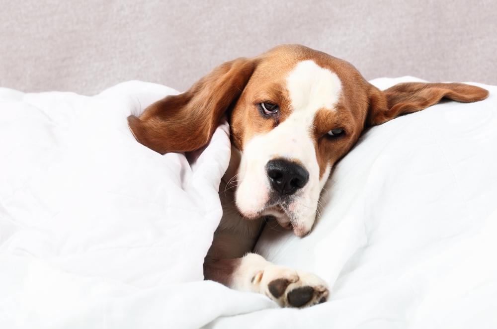 Cushingov sindrom je bolezensko stanje, ko telo vašega psa ustvarja preveč hormona, imenovanega kortizol.