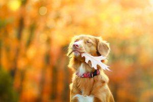 Novoškotski prinašalec, imenovan tudi »Toller«, je srednje velik lovski pes. Nekoč so jih vzrejali izključno za potrebe lova na race. Danes je to odličen pes spremljevalec.