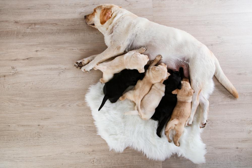 Mastitis je vidno zdravstveno stanje, ki lahko prizadene vse pse z mlečnimi žlezami. Čeprav je stanje pogosteje obravnavano kot težava, ki prizadene samo breje ali doječe psičke, se lahko pojavi pri vseh psih, tudi samcih.