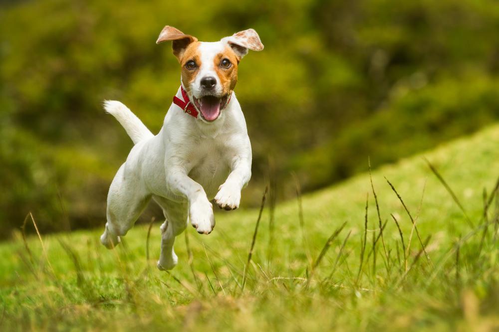 Običajno so majhni psi polni energije in si želijo nenehno interakcijo s svojim skrbnikom. Kaj pa, ko pride do teka?