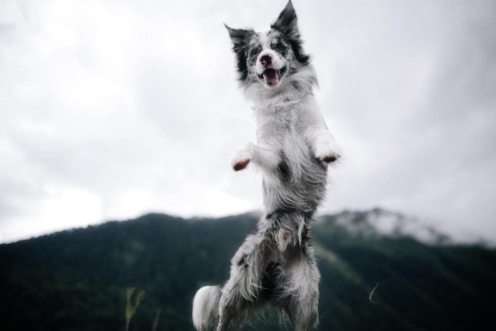 """Se vam je kdaj zgodilo, da je vaš pes dobil nenaden napad energije, ki ga niste znali pojasniti? Kar naenkrat je kosmatinec začel teči v krogih, loviti svoj rep, ali pa je """"šprintal"""" takoj, ko ste ga spustili iz povodca."""