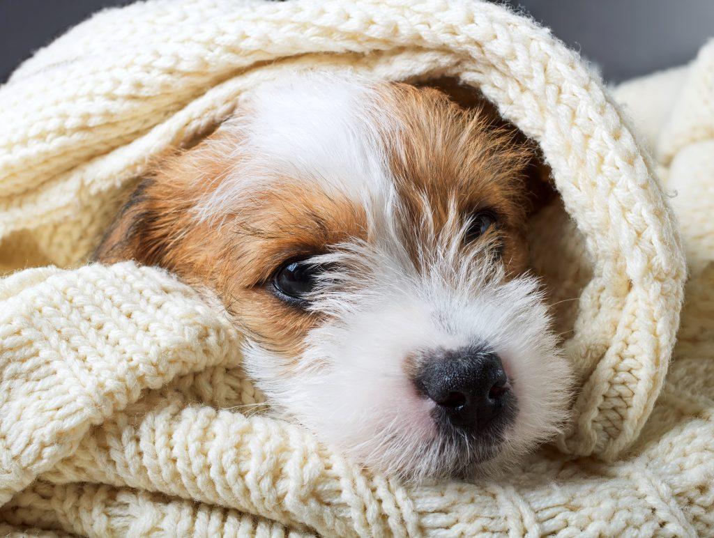 pes zavit v deko