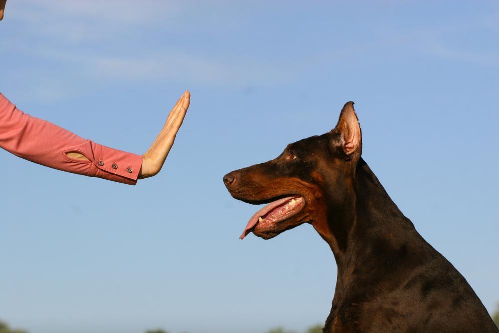 Kako naučiti psa, naj počaka, pes čaka pred iztegnjeno roko