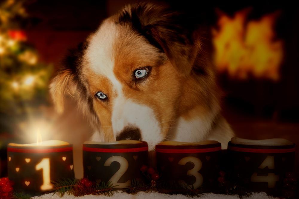 pes gleda svečo