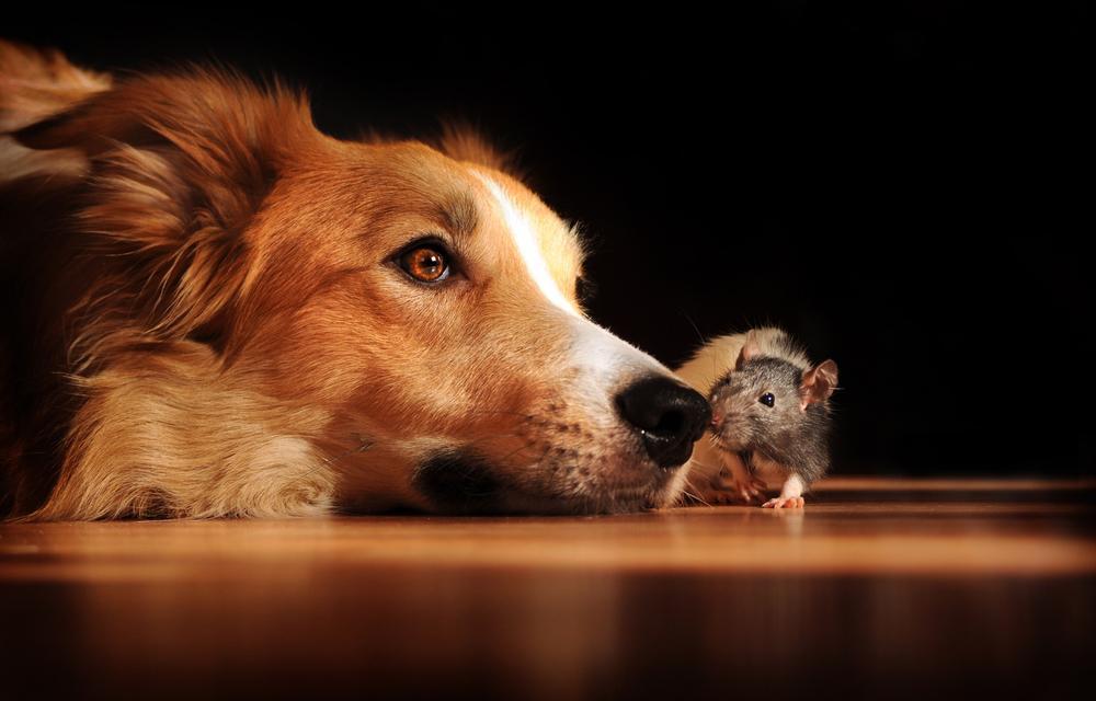 pes in podgana